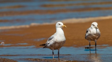 seagulls on ocean isle beach  | WIlliamson Realty Vacations